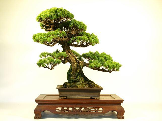 五葉松盆栽 模様木 正面