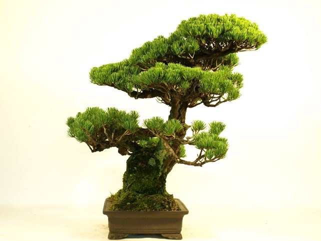 五葉松盆栽 模様木 左面