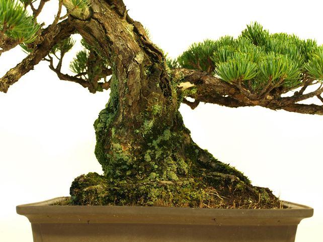 五葉松盆栽 模様木 根元拡大