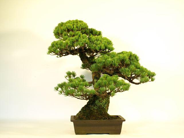 五葉松盆栽 模様木 背面