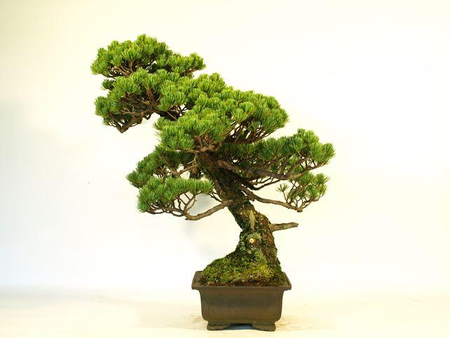 五葉松盆栽 模様木 右面