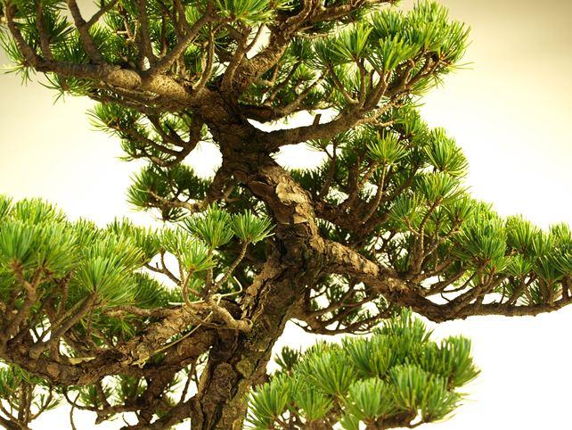 五葉松盆栽 模様木 枝周り