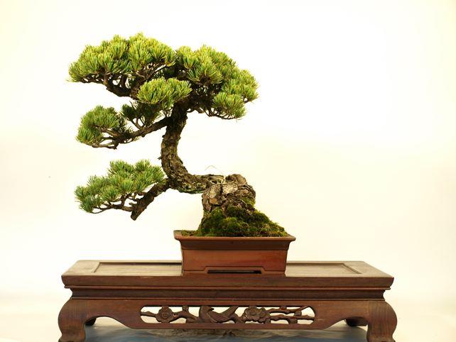 五葉松盆栽 懸崖 正面