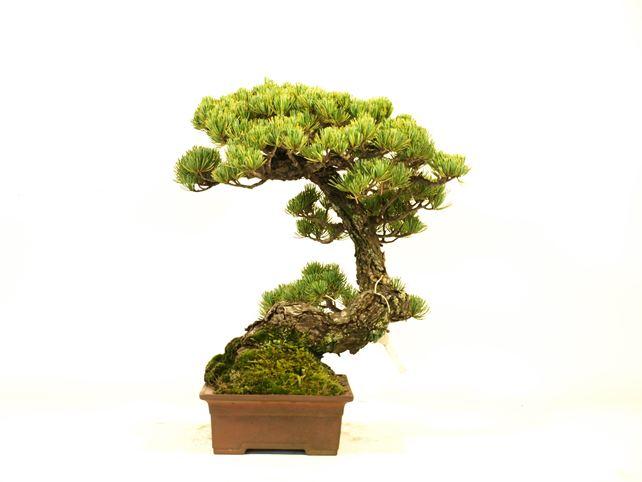 五葉松盆栽 懸崖 右面