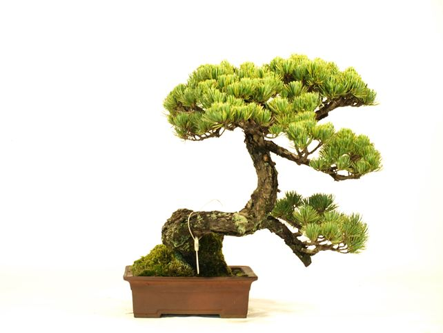 五葉松盆栽 懸崖 背面