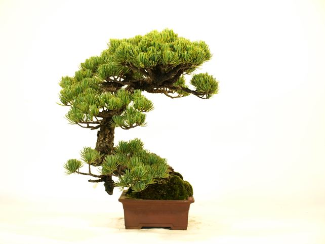五葉松盆栽 懸崖 左面