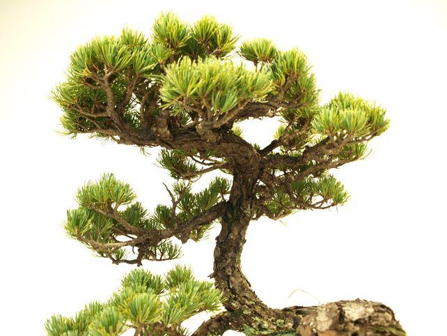 五葉松盆栽 懸崖 枝周り
